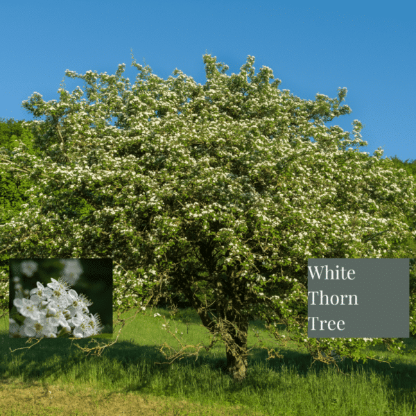 White thorn tree